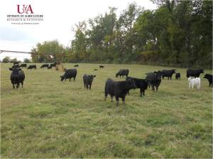 Irrigated beef cattle pasture